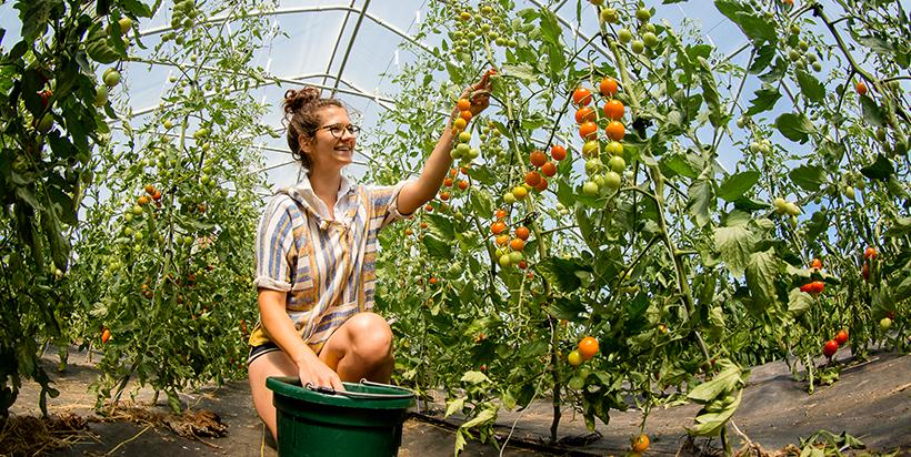 Student harvests tomatoes in greenhouse on Sustainable Student Farm.